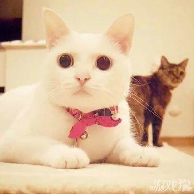 ins上一只叫做coto的白猫,两岁半的女孩子,这圆脸这大圆眼外加一